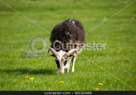 Grazing Sheep stock photo, A sheep with horns grazing in the pasture. by Tyler Olson
