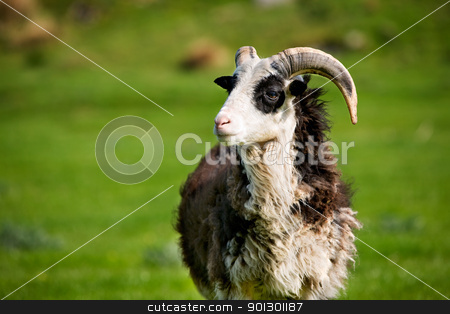 Sheep Ram stock photo, A mountain sheep ram with horns by Tyler Olson