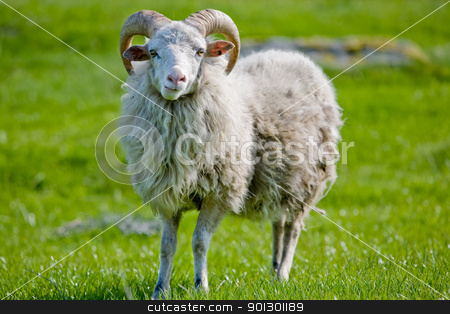 Sheep with Horns stock photo, A sheep with horns grazing in the pasture. by Tyler Olson