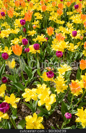 Flower Bed Background stock photo, A flower bed with yellow orange and purple tulips and daffodils by Tyler Olson