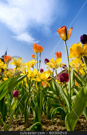 Tulips & Daffodils stock photo, A flower bed with yellow orange and purple tulips and daffodils against a blue sky by Tyler Olson