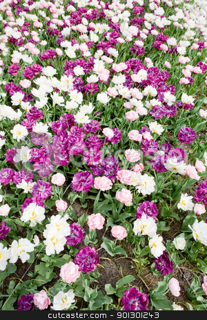 Flower Background stock photo, A white and purple flower background by Tyler Olson