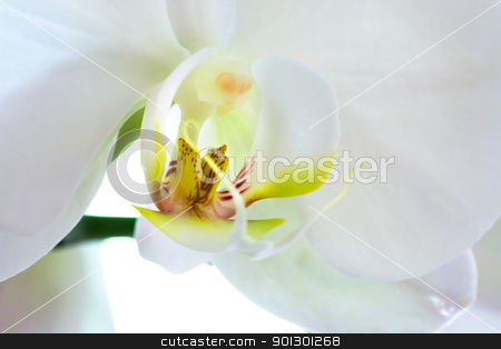 Orchid Macro stock photo, A macro of a white Phalaenopsis Amabilis Moon Orchid by Tyler Olson