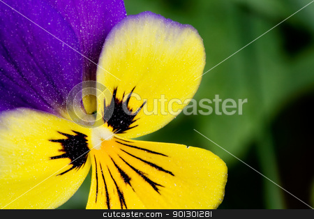 Viola Tricolor Macro stock photo, Johnny Jump Up flower or Heartsease macro latin: viola tricolor by Tyler Olson