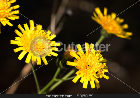 Hawkweed Yellow Flower stock photo, A yellow flower macro - Yellow Hawkweed, latin: Hieracium Pratense by Tyler Olson