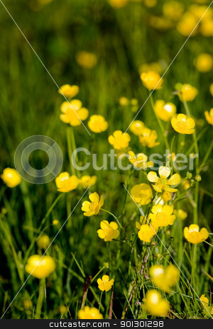 Buttercup Background stock photo, A yellow flower background of buttercup - Latin: Ranunculus bulbosus by Tyler Olson