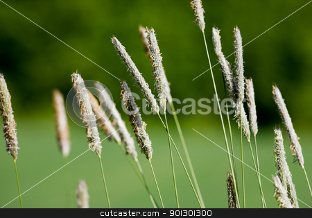 Wild Grass Macro stock photo, A detail image of wild grass in nature - Timothy-grass (Phleum pratense) by Tyler Olson