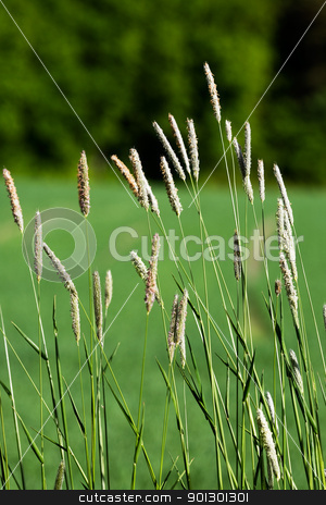 Wild Grass Background stock photo, Wild grass on a green background - Timothy-grass (Phleum pratense) by Tyler Olson
