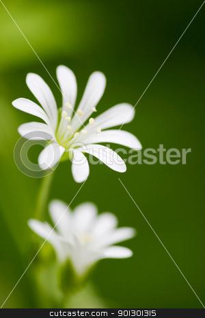 White Flower stock photo, Macro of a small flower, Wood Stitchwort - Stellaria nemorum by Tyler Olson