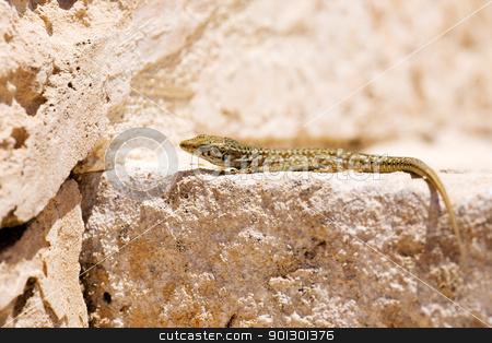 Lizard stock photo, Maltese wall lizard by Tyler Olson