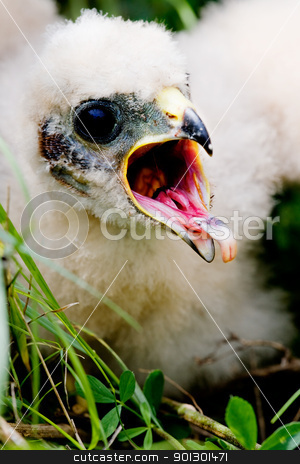 Prairie Falcon Chick stock photo, Prairie Falcon chick (Falco mexicanus) in a nest by Tyler Olson