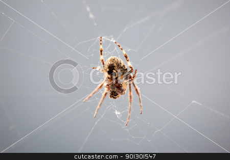 Spider stock photo, The underside of a spider spinning a web by Tyler Olson