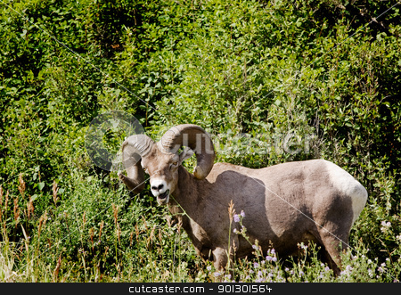 Bighorn Sheep stock photo, A wild bighorn sheep in Alberta, Canada (ovis canadensis) by Tyler Olson