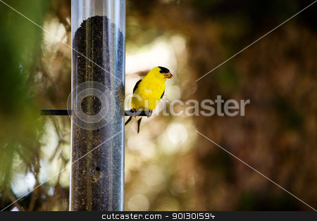Gold Finch stock photo, A yellow male gold finch at a bird feader by Tyler Olson