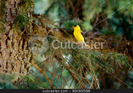 Gold Finch stock photo, A gold finch in the forest sitting on a tree by Tyler Olson