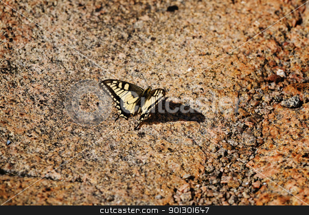 Swallowtail Butterfly stock photo, A swallowtail butterfly, Papilio zelicaon,  sun tanning on a warm rock by Tyler Olson