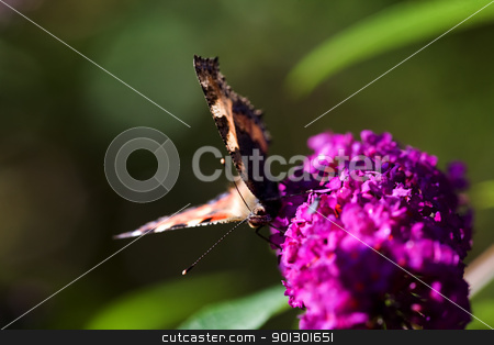 Buttefly on Purple Plant stock photo, Tortoiseshell Butterfly Nymphalis urticae on a purple plant summer lilac - buddleja davidii by Tyler Olson