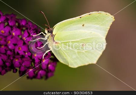 Brimstone Butterfly stock photo, Brimestone Butterfly -  Gonepteryx  rhamni  on a purple summer lilac - buddleja davidii by Tyler Olson
