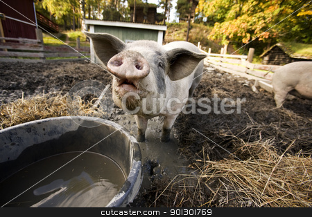 Curious Pig stock photo, A curious pig at a watering bowl by Tyler Olson