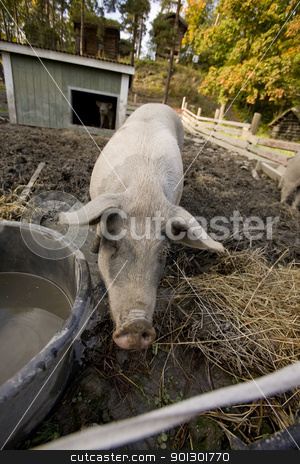 Pig Pen stock photo, A pig drinking at a watering bowl by Tyler Olson