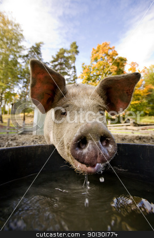Pig at Water Bowl stock photo, A pig drinking at a watering bowl by Tyler Olson