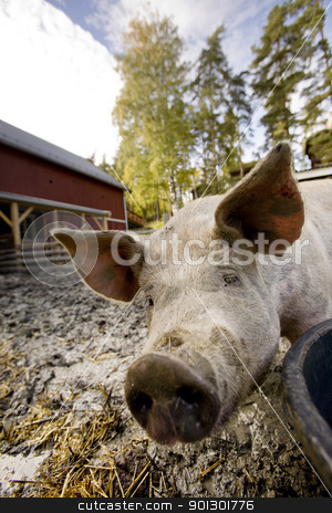 Curious Pig stock photo, A curious pig in a pen by Tyler Olson