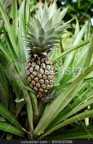 Pineapple Plant stock photo, Pineapple on the plant by Tyler Olson