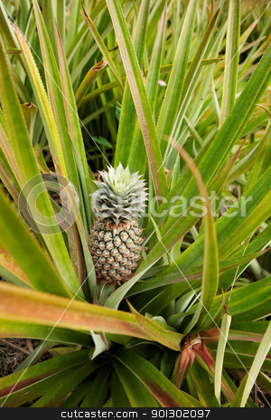 Growing Pineapple stock photo, Pineapple on the plant by Tyler Olson