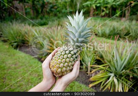 Fresh Pineapple stock photo, Fresh Pineapple held in hands in a pineapple garden by Tyler Olson