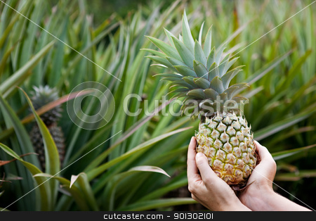 Pineapple Garden stock photo, Fresh Pineapple held in hands in a pineapple garden by Tyler Olson