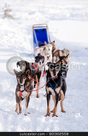 Dog Sled stock photo, Sled dogs harnessed up, ready to run by Tyler Olson