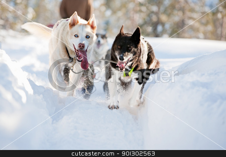 Sled Dog stock photo, A group of sled dogs running fast by Tyler Olson