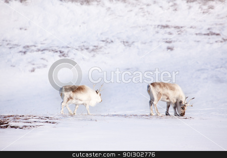Reindeer stock photo, Two reindeer on the island of Spitsbergen, Svalbard, Norway by Tyler Olson
