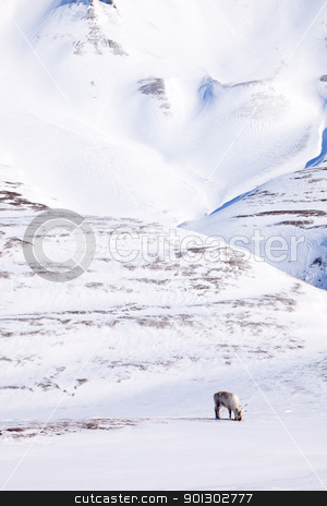 Reindeer stock photo, A single reindeer in a dramatic landscape on Spitsbergen Island, Svalbard, Norway by Tyler Olson
