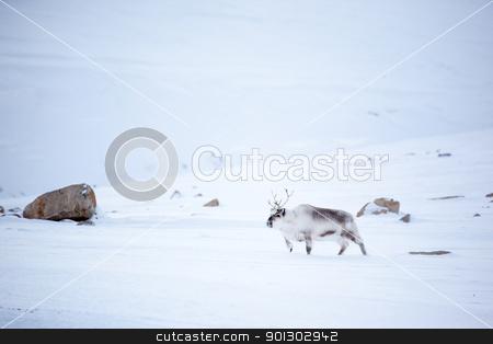Reindeer stock photo, A reindeer in it's natural habitat.  Spitsbergen Island, Svalbard, Norway by Tyler Olson