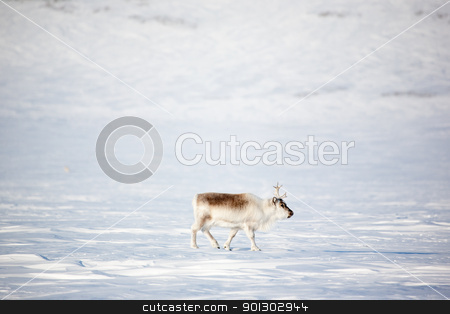 Reindeer stock photo, A reindeer on the island of Spitsbergen, Svalbard, Norway by Tyler Olson