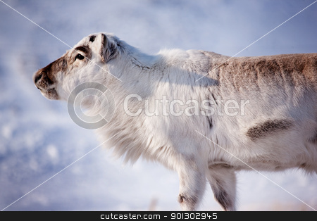 Reindeer stock photo, A wild reindeer on the island of Spitsbergen, Svalbard, Norway by Tyler Olson
