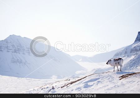 Reindeer on Winter Landscape stock photo, A wild raindeer against a desolate winter landscape, Svalbard, Norway by Tyler Olson