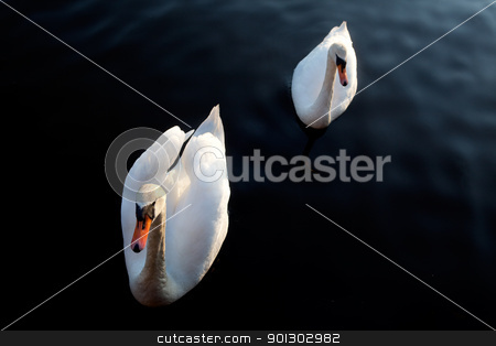 Swan stock photo, A while swan against a black background by Tyler Olson