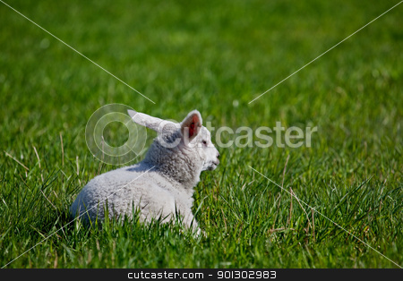 Lamb stock photo, A lamb resting in a green meadow by Tyler Olson