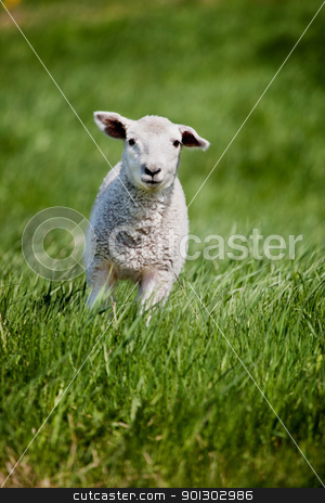 Running Sheep stock photo, A friendly looking sheep running towads the camera by Tyler Olson