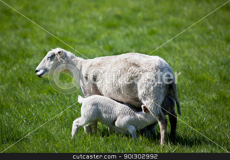 Nursing Lamb stock photo, A lamb drink milk from it's mother in a grass meadow by Tyler Olson