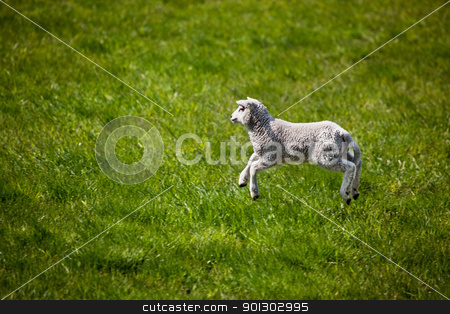 Jumping Lamb stock photo, A young lamb running and jumping in a green field. by Tyler Olson