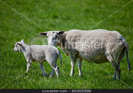 Mother Sheep stock photo, A mother sheep, a ewe, with her lamb in a green pasture by Tyler Olson