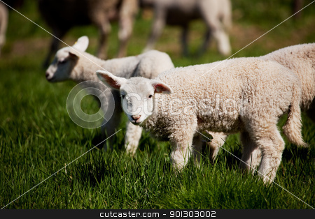 Curious Lamb stock photo, A small lamb in a pasture of sheep looking curious at the camera by Tyler Olson