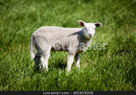 Lamb stock photo, A small lamb in a pasture of sheep looking curious at the camera by Tyler Olson