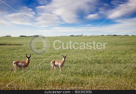 Antelope stock photo, Prong Horned antelope in a field in rural Saskatchean. by Tyler Olson