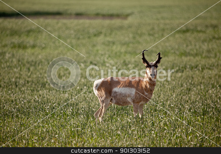 Pronghorn Antelope stock photo, Pronghorn antelope in a field in rural Saskatchean. by Tyler Olson