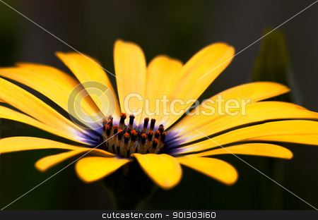Osteopermum stock photo, An osteospermum isolated against a green grass background by Tyler Olson