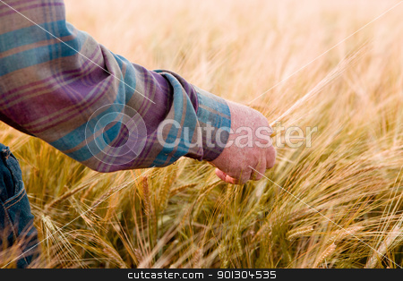 Farmer Looking At Wheat stock photo, A farmer's hand looking at wheat ready to harvest by Tyler Olson